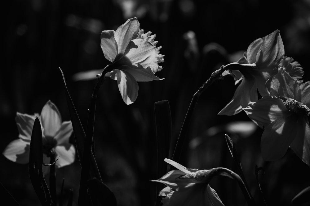Beautiful spring daffodils in Black & White