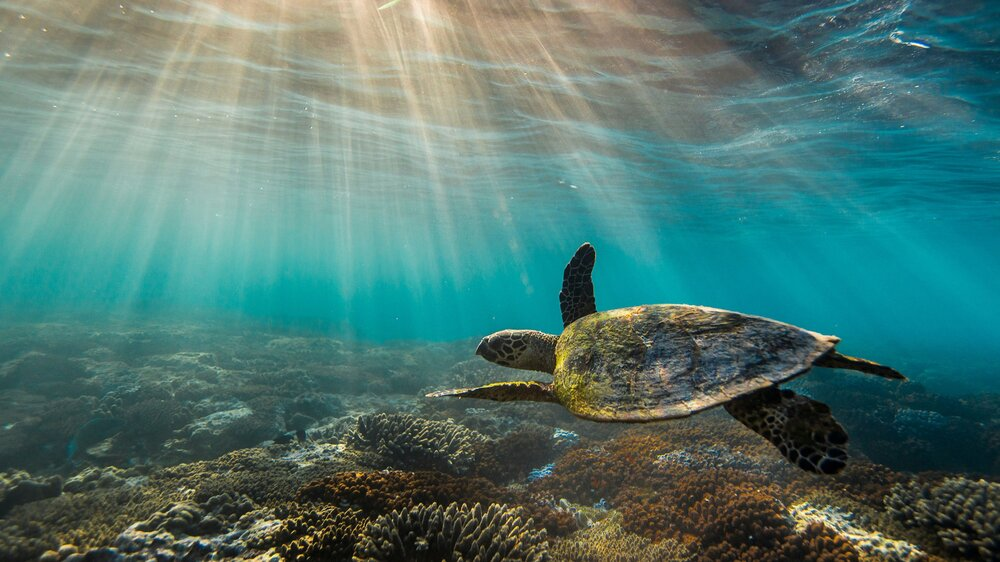 Turtle-swimming-over-the-Great-Barrier-Reef.jpg