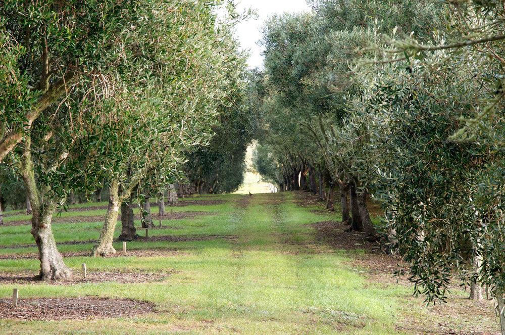 olive-grove1.jpg