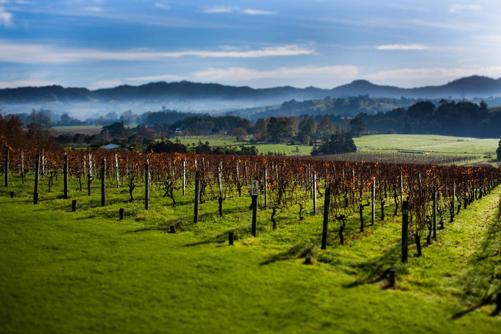 matakana vineyard1 (1).jpg