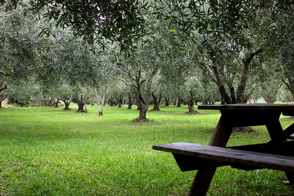 olivegrove.jpg