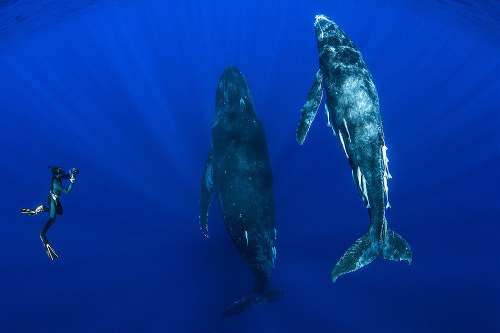 dive with whales in tonga.jpg