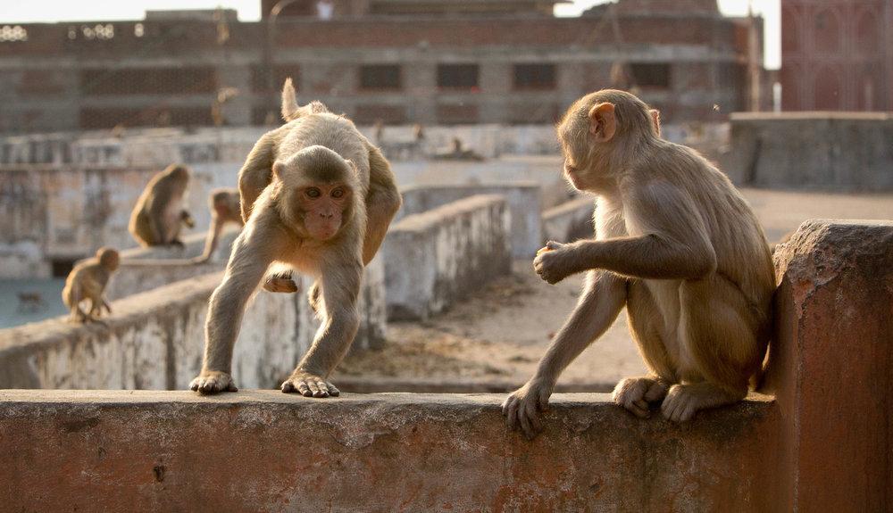 Rhesus macaque monkeys | Image credit: BBC NHU/Fredi Devas