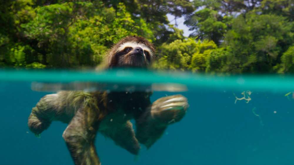 Swimming Sloth | Image credit: BBC