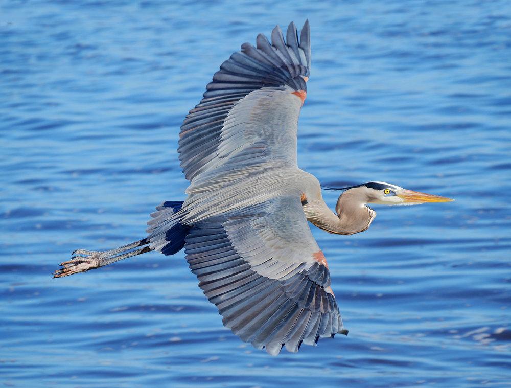 Blue+Heron+lg_558543517.jpg