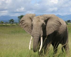 Elephant (thumbnail).jpg