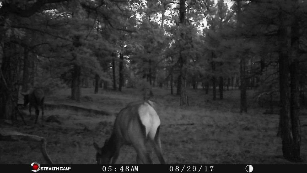 Incidentally, what I ended up finding on the cam was a cow elk mooning me out of sheer contempt. Fits right with the tone of this weekend!