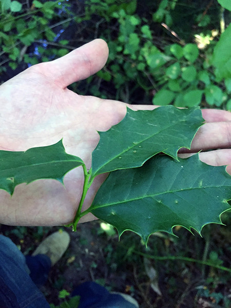 tryon-creek-invasive-species-holly.jpg