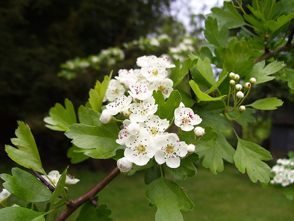 tryon-creek-invasive-species-hawthorn.jpg