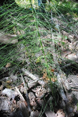 tryon-creek-invasive-species-horsetail.jpg