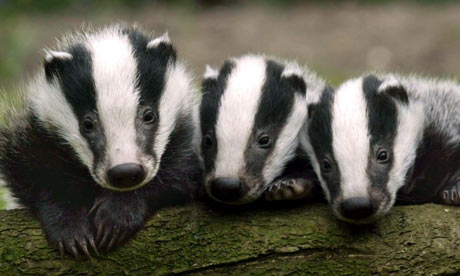 Badger-cubs-in-the-Westco-001.jpg