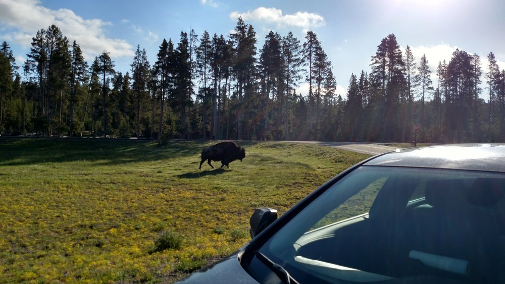 A bison, I got out to take some photos of him and he started to wander over.After seeing how fast they can run when they want to I decided to get behind my car.