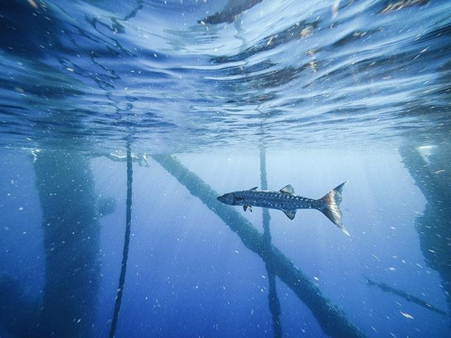 Despite their blistering speed and aggressive tactics to acquire prey, barracuda are relatively docile in the water column. Often times they just sit stationary, hovering next to structure like this abandoned oil rig likely either to rest or in wait for another meal. For many other fish species, and marine life for that matter, manmade structures can provide habitat for supporting entire marine communities that otherwise wouldn't exist in the open ocean. Have you ever sat on a dock and stared into the water around a piling? Likely its a microcosm of many different things, living together in some harmonious way. The take away here is the incredible flexibility that can exist in a marine community's ability to build up from nothing but a simple structure, and become a unique, highly complex world of coral, sponges, algae, and fishes, all in close proximity to one another and battling for survival. The ocean is too cool! —————————————————————————— #wild #conservation #oceanculture #ocean #bluewater #fish #coral #wreckstoreefs #nature #wilderness #underwater #science #marinelife #freedive #water #saltwater #explore #dive