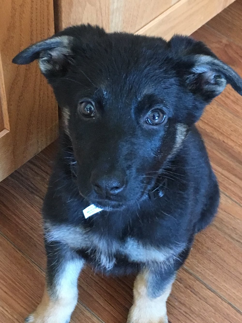 Sigi as a puppy! One of the first photos we ever took of her!