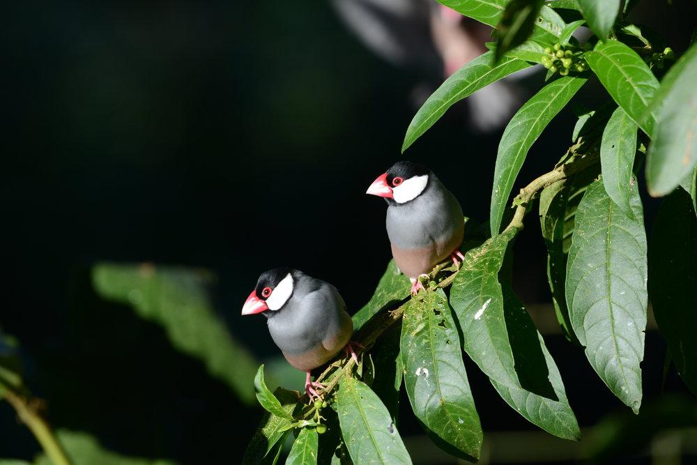 Makani Java Sparrow 1.JPG