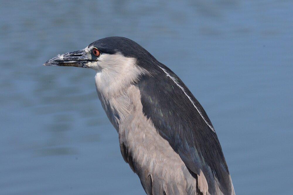 Waikoloa Heron 4.JPG