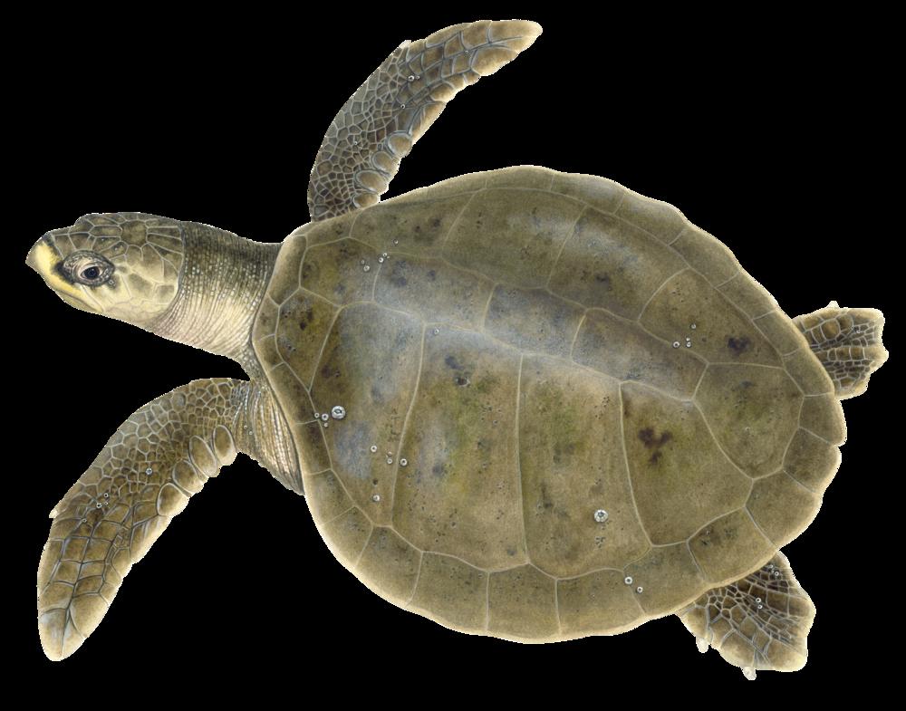 Adult Kemp's Ridley Sea Turtle