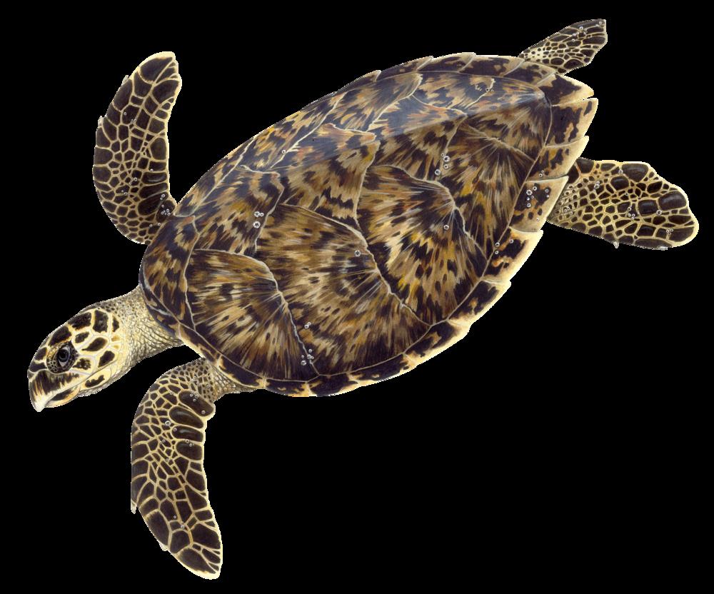 Adult Hawksbill Sea Turtle