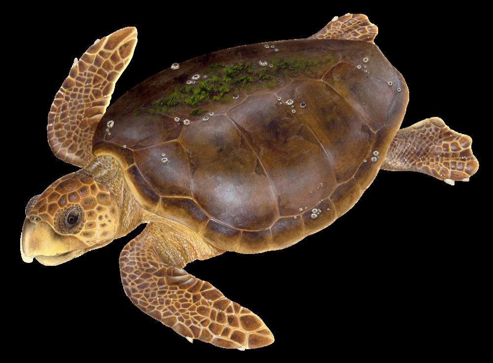 Adult Loggerhead Sea Turtle