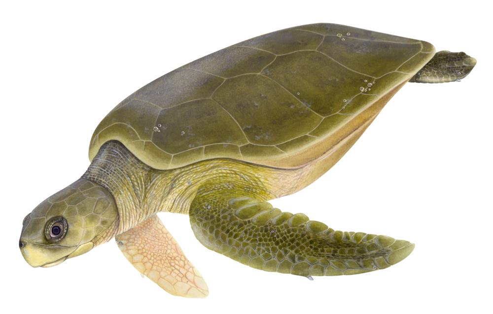 Adult Flatback Sea Turtle