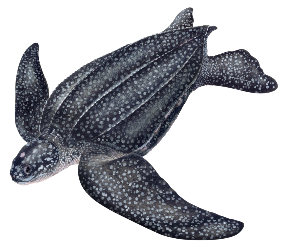 Leatherback Illustration
