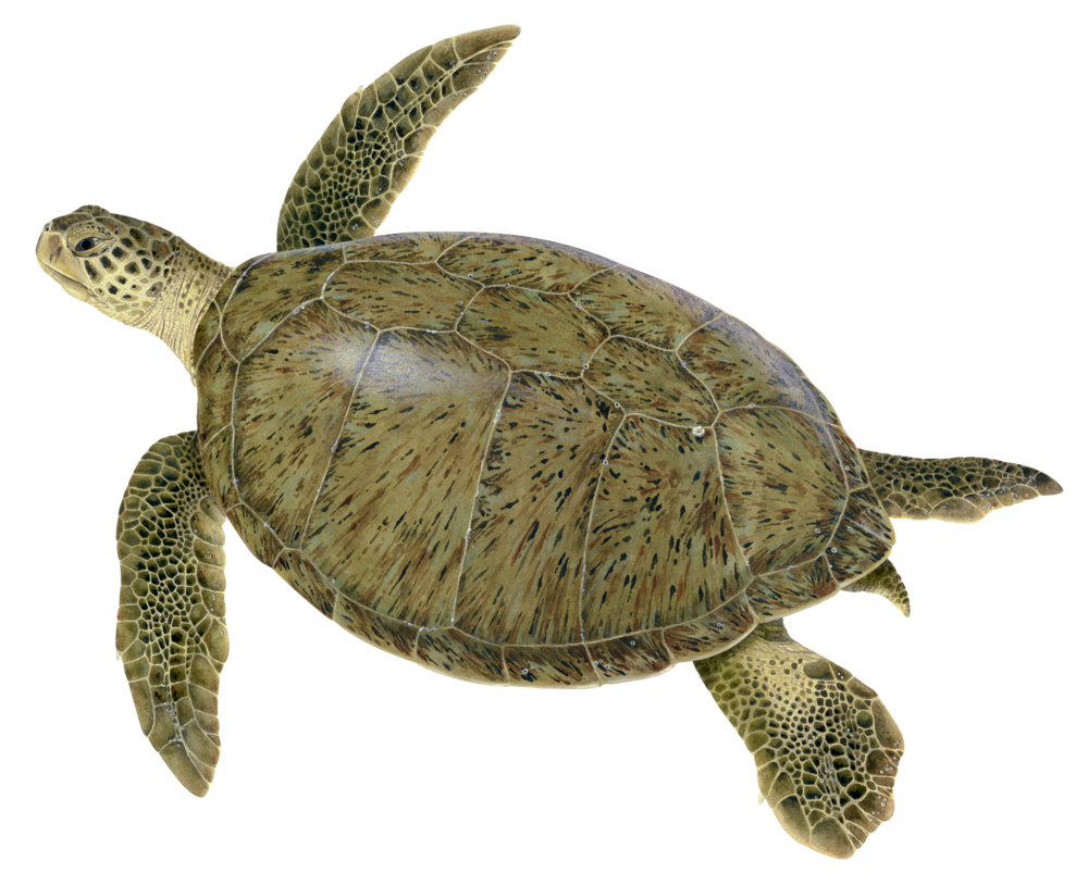 Illustration of a Green Sea Turtle