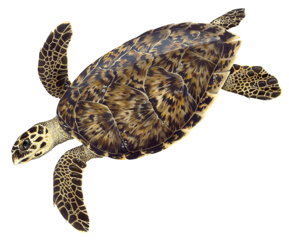 Illustration of a Hawksbill Sea Turtle