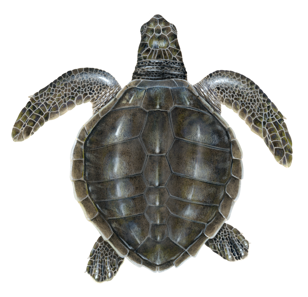 Juvenile Olive Ridley Sea Turtle