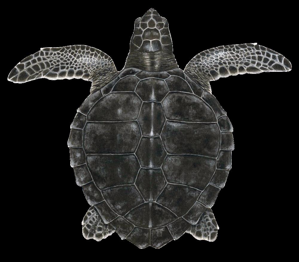 Juvenile Kemp's Ridley Sea Turtle
