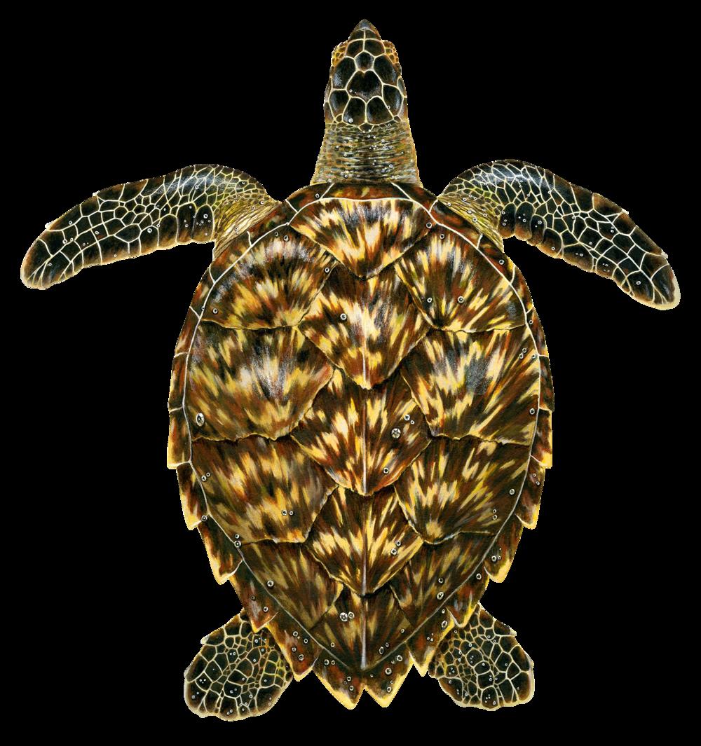 Juvenile Hawksbill Sea Turtle