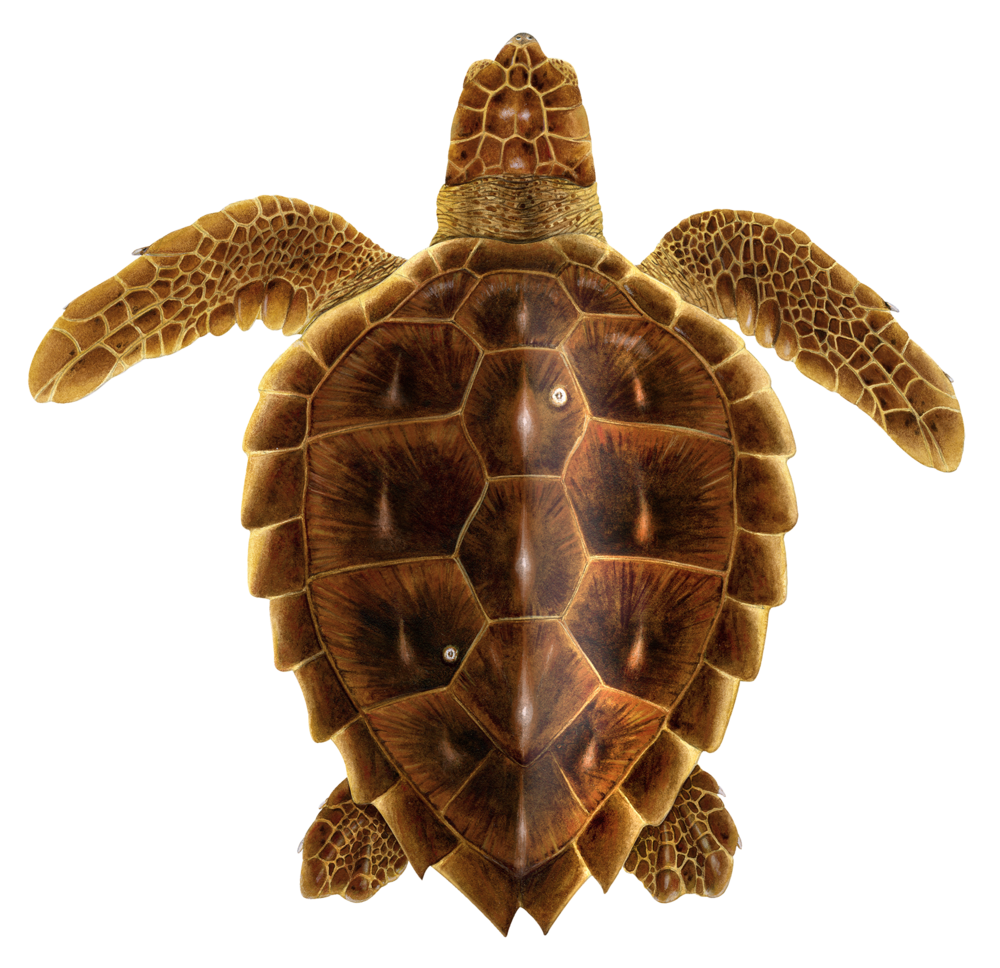Juvenile Loggerhead Sea Turtle