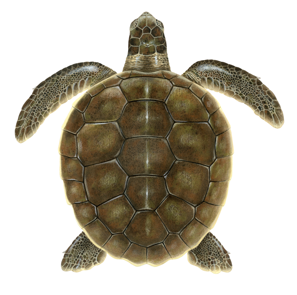 Juvenile Flatback Sea Turtle