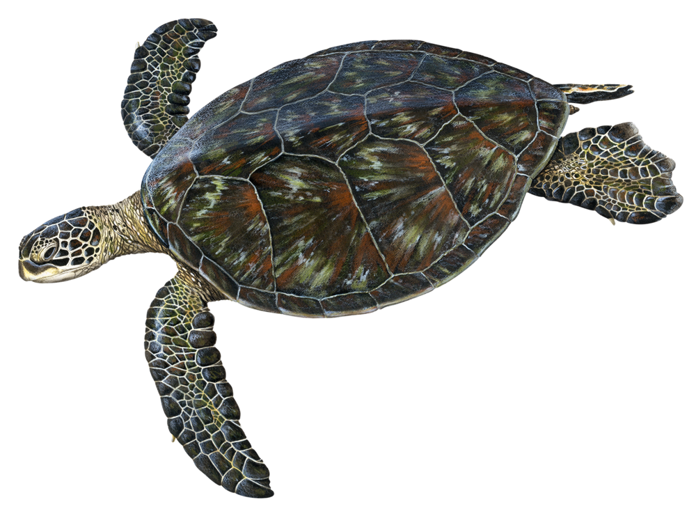 Adult Black Sea Turtle