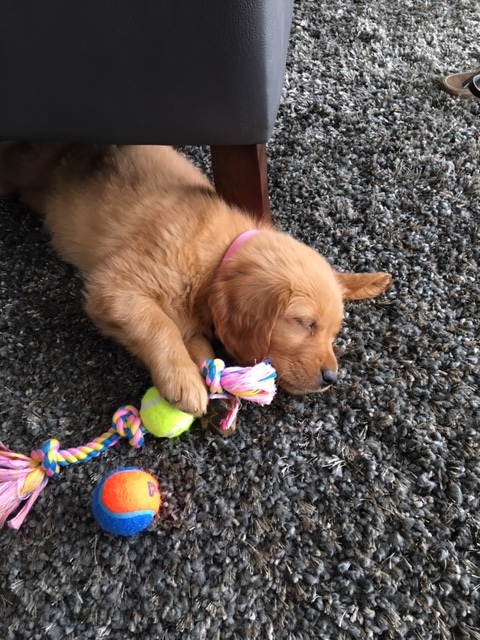 golden retriever puppy chew toy.JPG