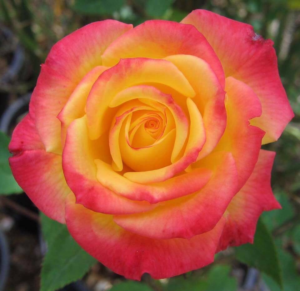 Image result for mini rose bee's knees