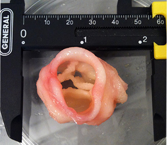 Bioprinted cardiac valve Image: Jonathan T. Butcher, Cornell University