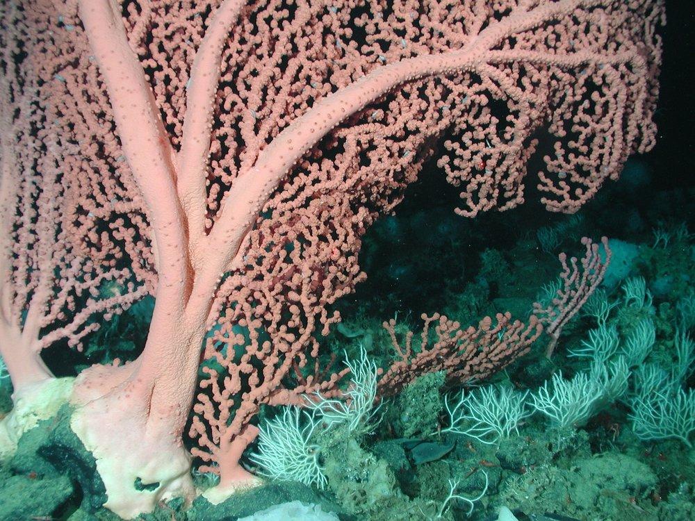 bubblegum-coral-79923_1920.jpg