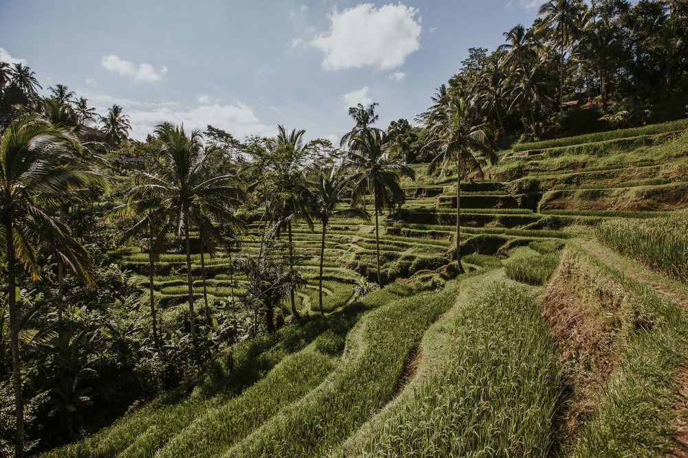 Bali Rice Paddy & Palm trees in Ubud