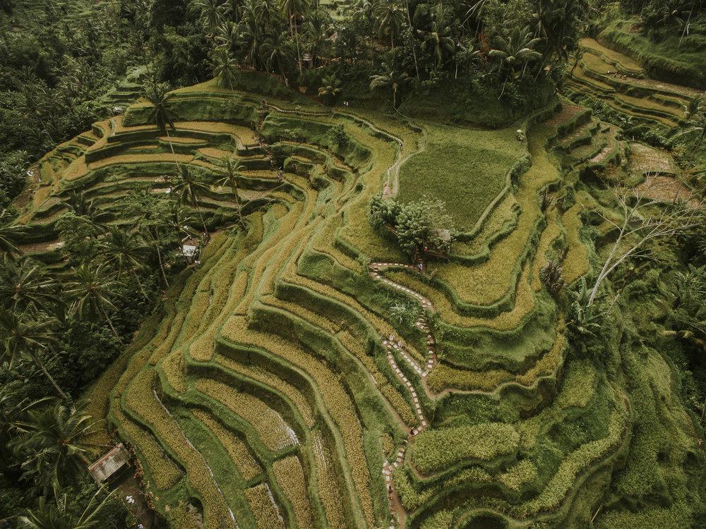 Bali Rice Paddy in Ubud