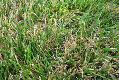 grasses-tallfescue.jpg