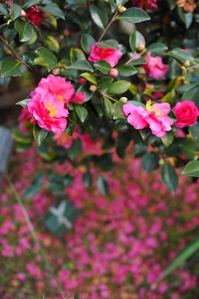 camellia-sasanqua-hedge.jpg