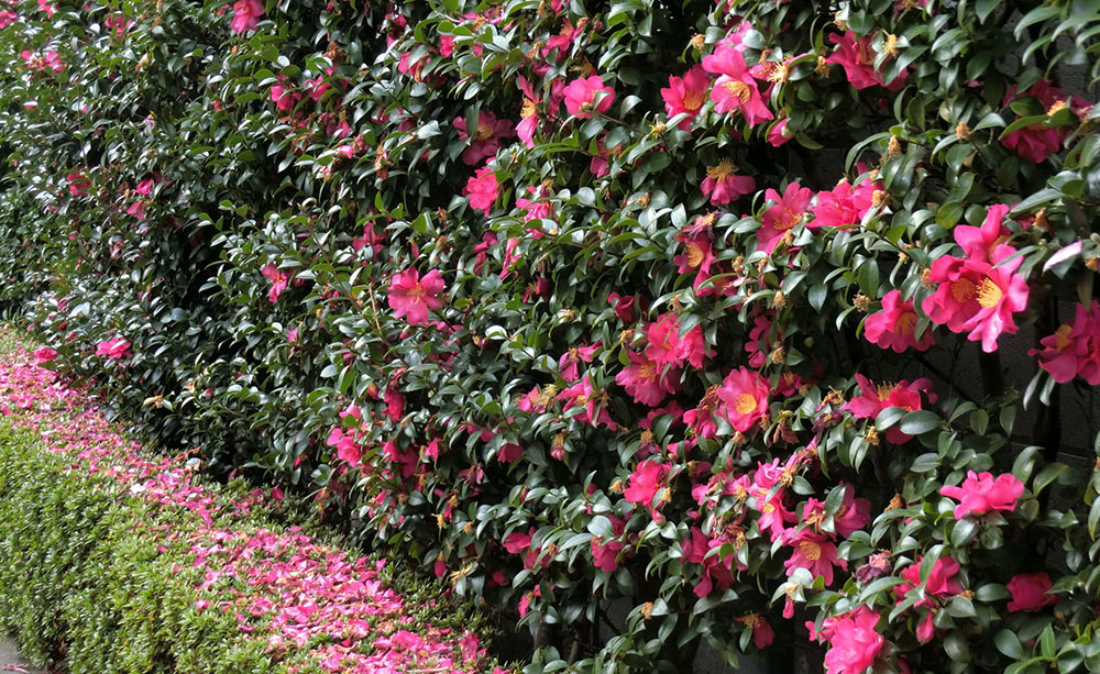 Bush hedge of pink flowers