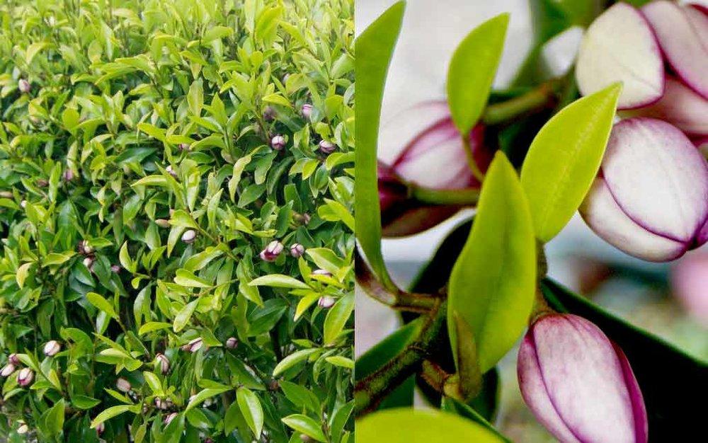 magnolia-michelia-figo-hedge-flower.jpg