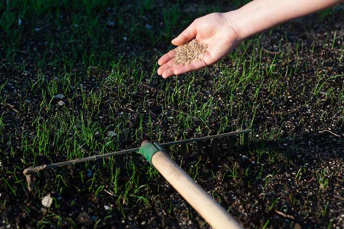 Planting grass seeds with rake
