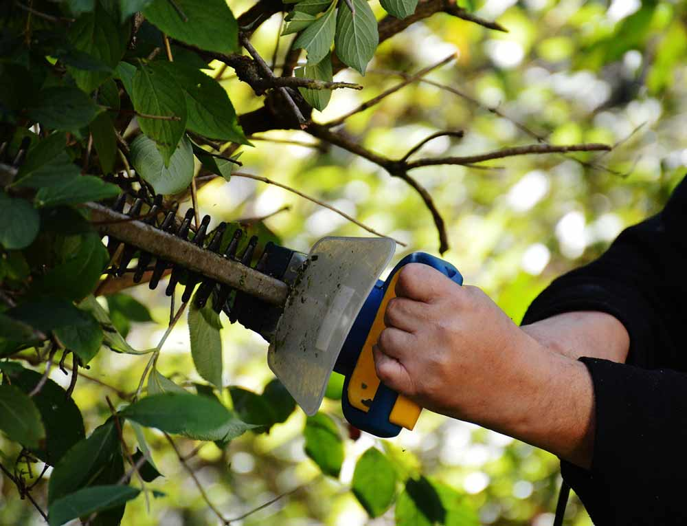 Trimming a feijoa hedge