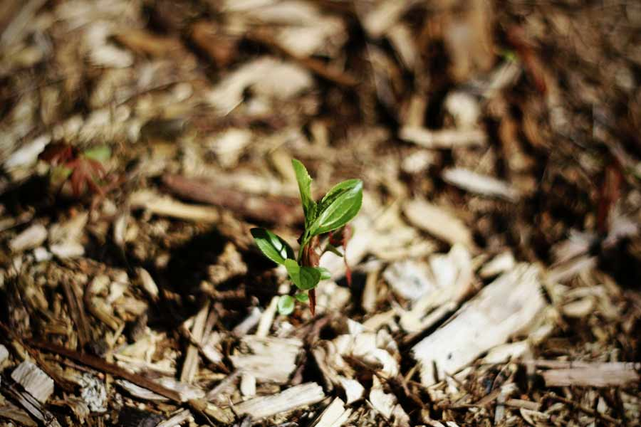 Small tree sapling growing in bark mulch