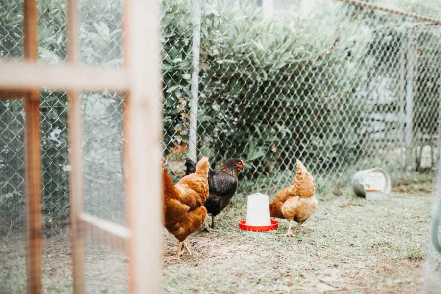 Backyard chickens getting water