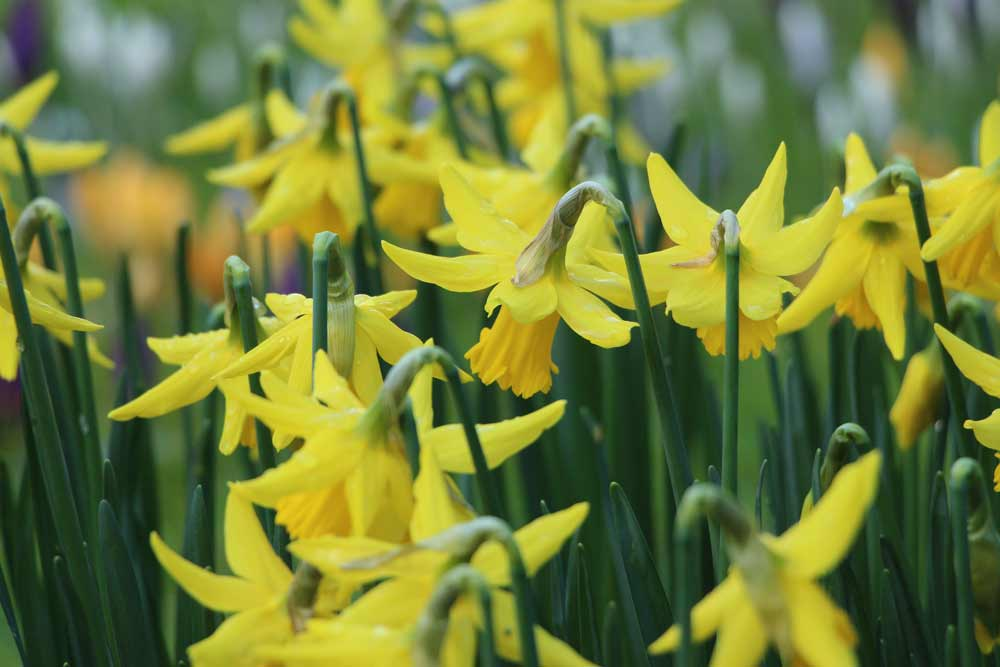 Collection of daffodils