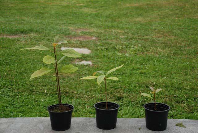 Avocado saplings