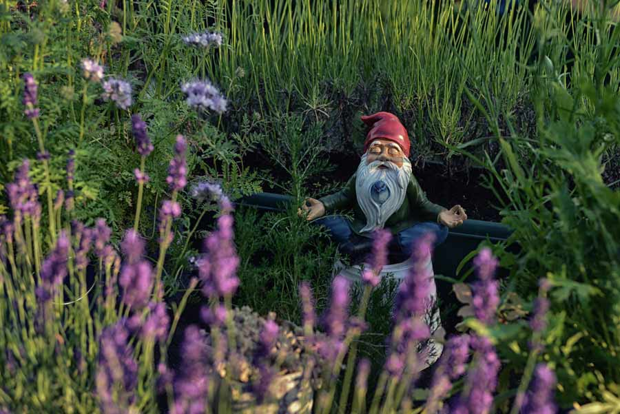 Meditating garden gnome in long grass
